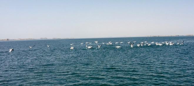 pelicans fleeing us