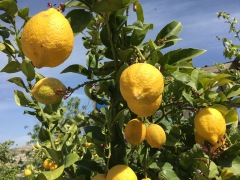 Lemons On Palestinian Farm
