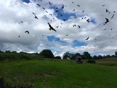 Kites being fed, Rhyader