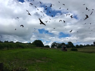 Kites being fed, Rhyader